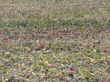 """bunter """"Herbstkohl"""" auf Acker bei Menden-Schwitten"""