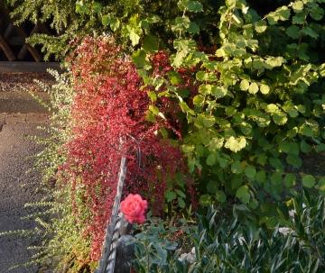 Kirschlorbeer, Rose, Zwergmispel und Haselnuss im Frühherbst