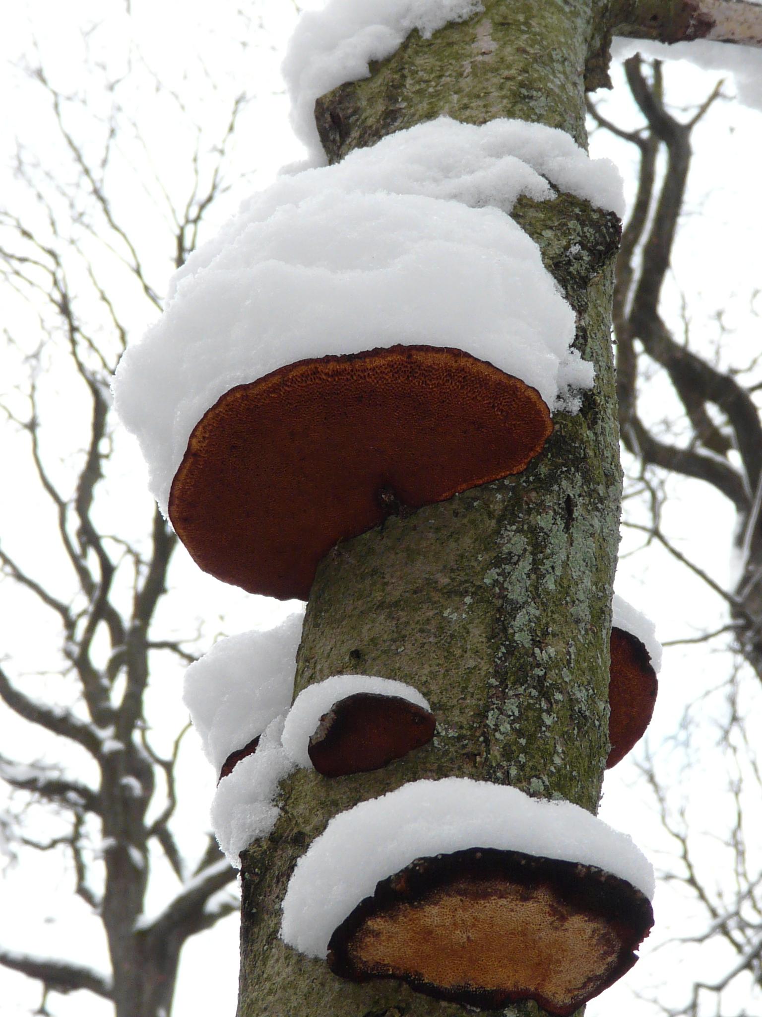 """Baumpilze mit """"Schneehüten"""""""