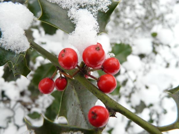 Stechpalmen-Zweig mit Früchten und Schnee