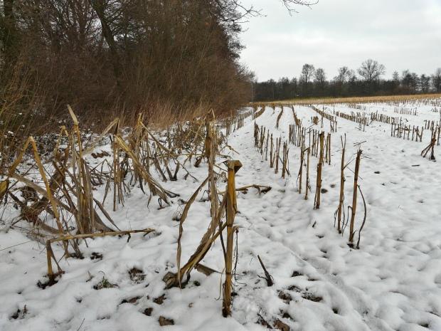 altes Maisfeld im Schnee