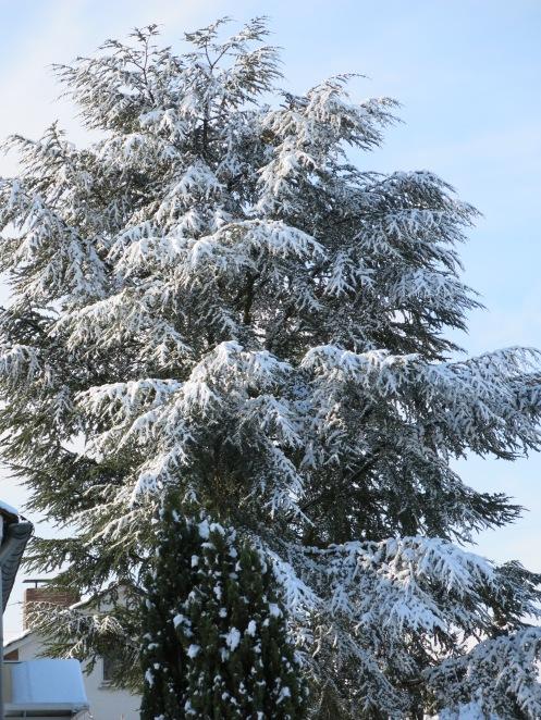 Zeder im Schnee