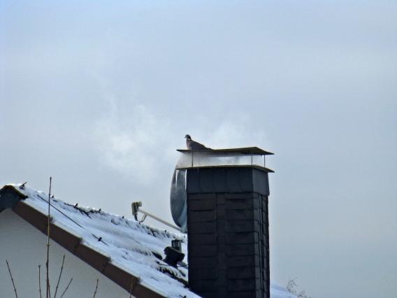 Ringeltaube auf Schornstein