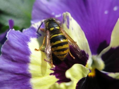 Wespe auf Stiefmütterchen