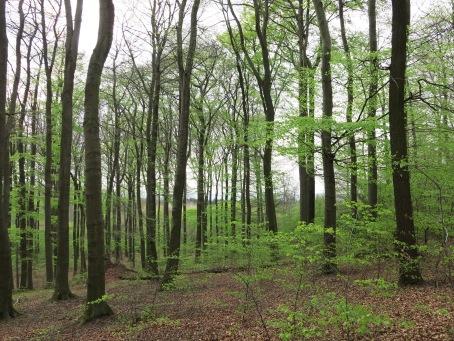 frische Blätter  im Rotbuchenwald