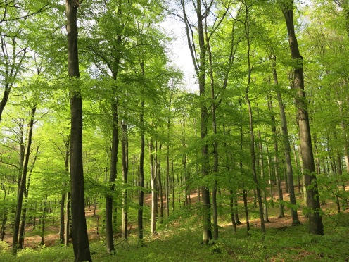Rotbuchen im Lüerwald