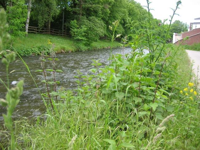 Menden, grüner Uferstreifen unter der Hönneinsel