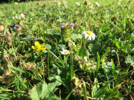 """Wildblumen im """"Miniatur-Format"""" auf gestutztem Rasen"""