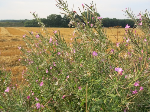 Rauhaariges Weidenröschen bei Menden-Bösperde
