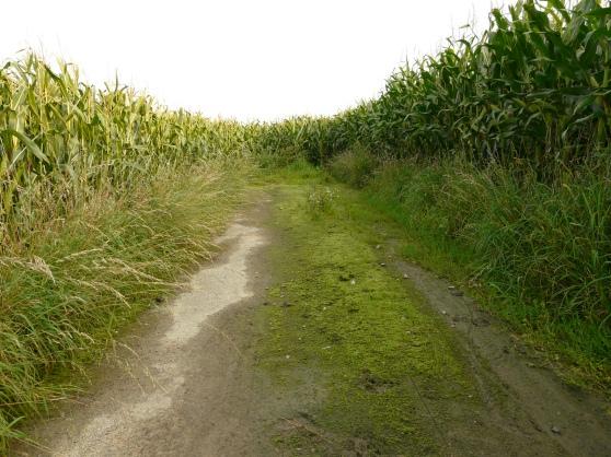 Ackerweg-Sackgasse im Maisfeld