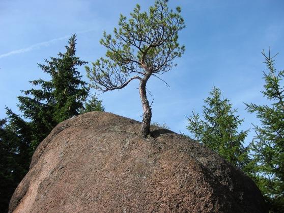 Kiefer auf/in Felsblock; nördlicher Harz