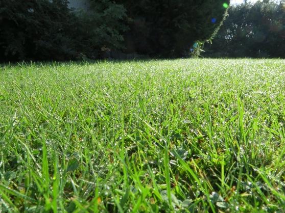 Rasen mit Tau in der Sonne