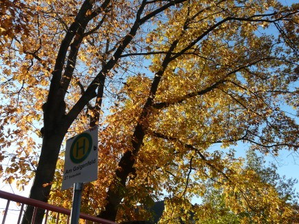 """""""goldenes"""" Eichenlaub in Menden/Sauerland; 22.10.2011"""