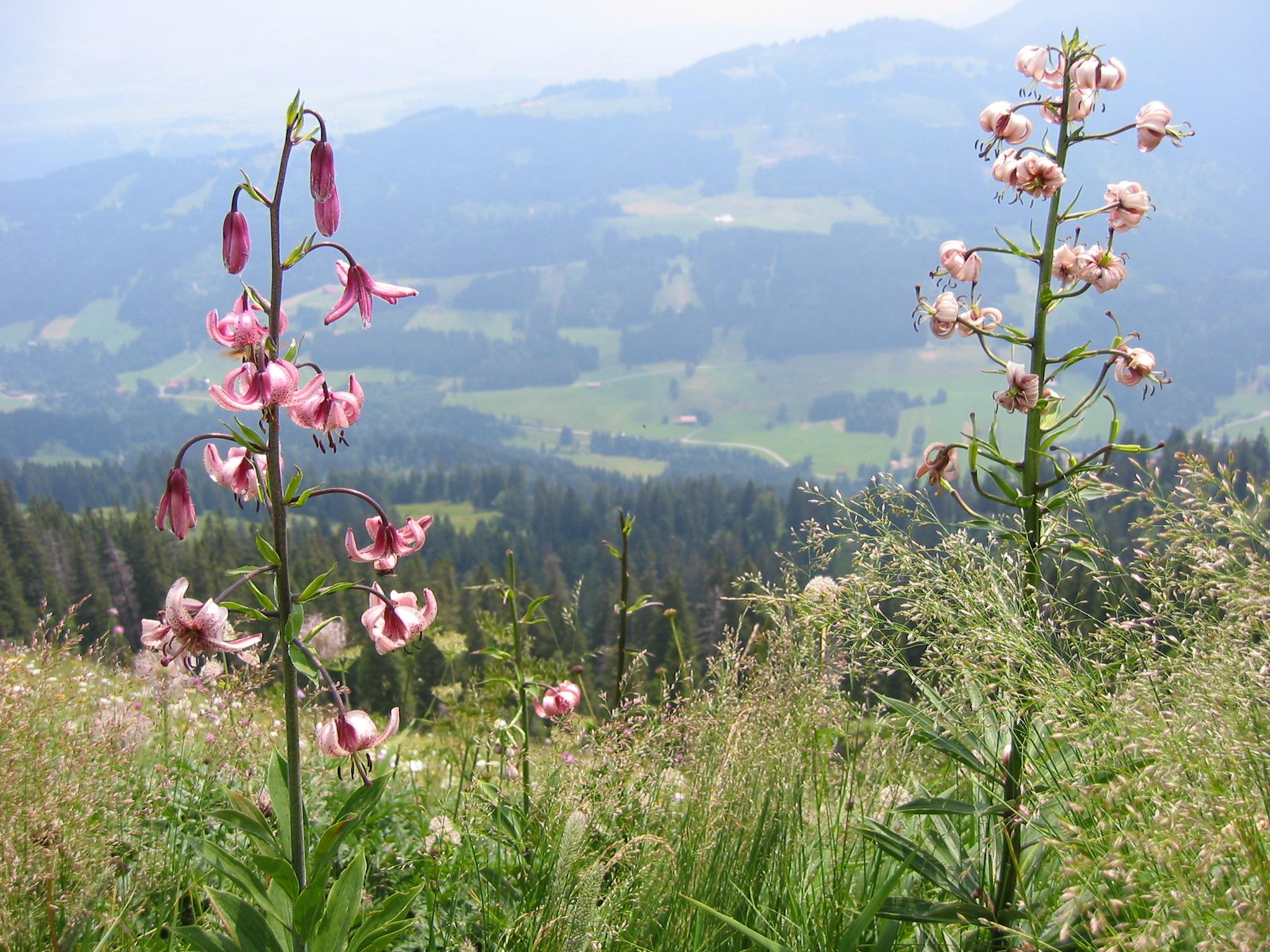 Türkenbund-Lilien über dem Illertal in den Allgäuer Alpen