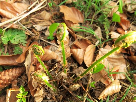 junge Wurmfarn-Wedel zwischen Vorjahres-Buchenlaub; 04.05.13
