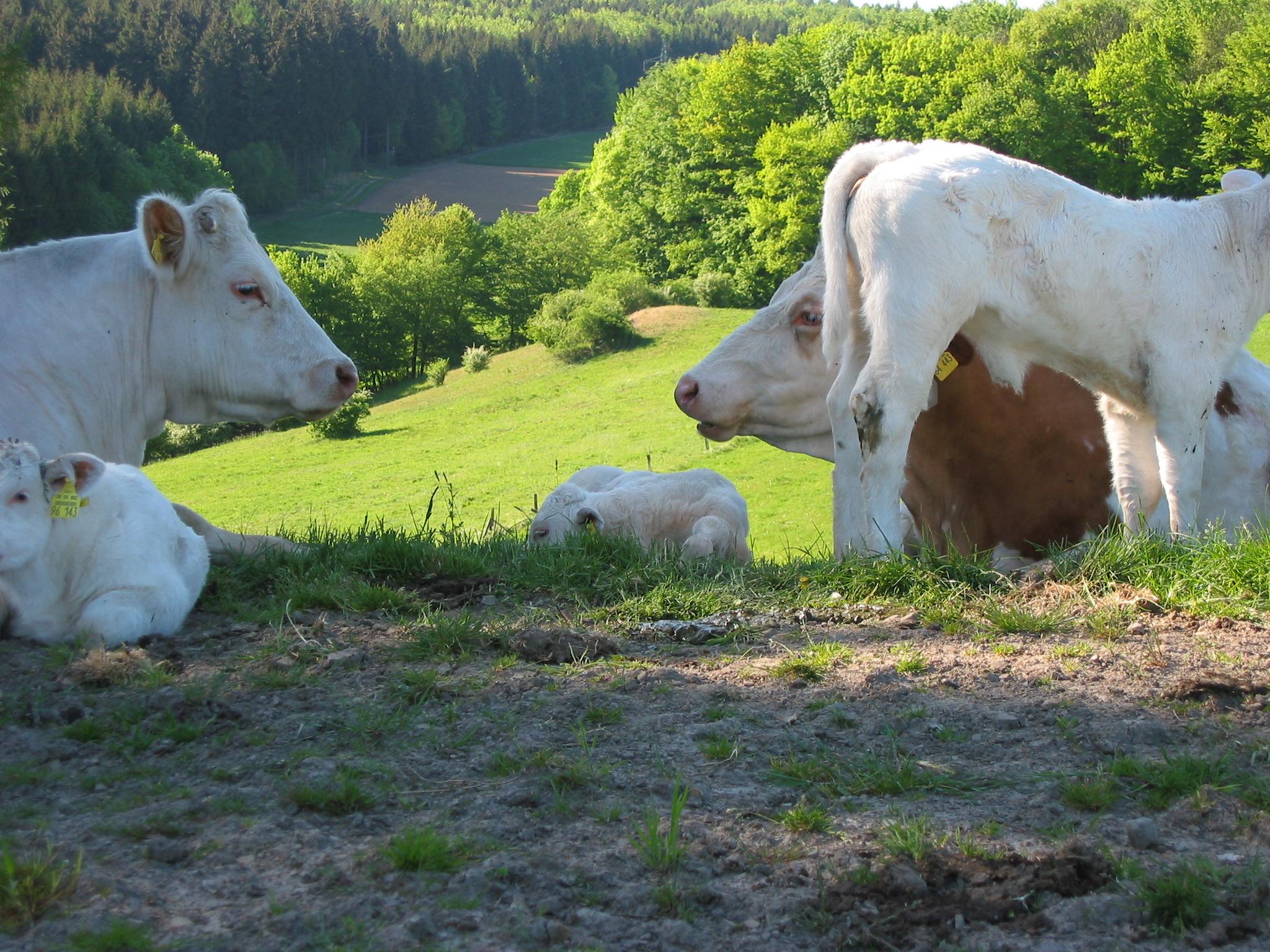 Kühe vor Landschaft