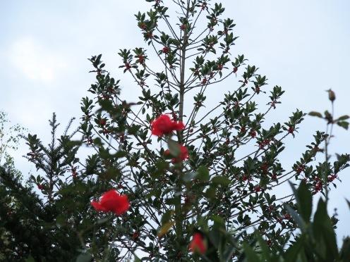 blühende Zier-Rose vor fruchtender Stechpalme; November 2013