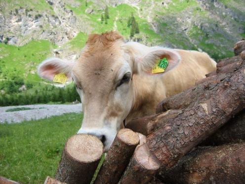 Allgäu-Kuh hinter Holzstapel