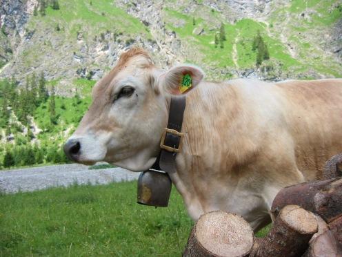 Allgäu-Kuh hinter Holzstapel, vorgewagt