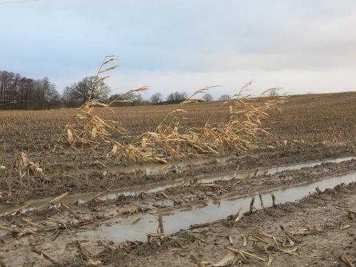 Maispflanzenreste bei Menden-Ostsümmern; 27.12.13