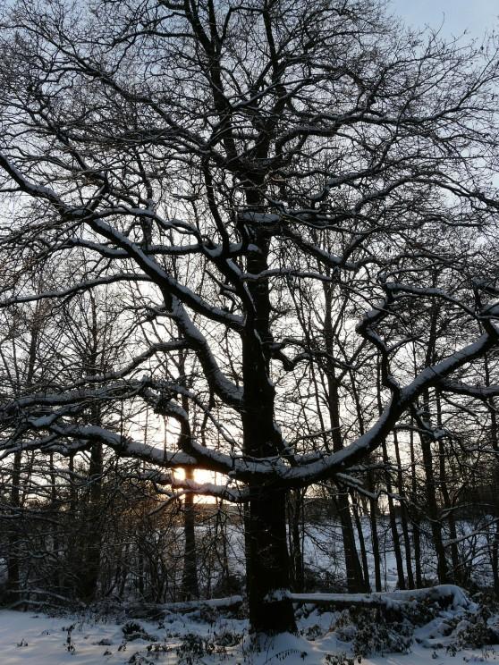 Menden, alte Eiche am Plattheidersiepen; Weihnachten 2010