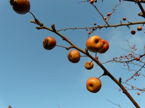 Wildäpfel am Zweig gegen Winterhimmel; 1.12.12