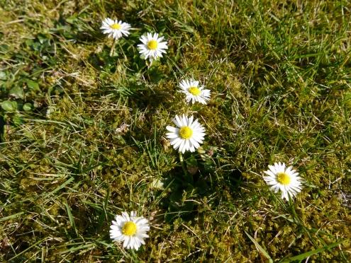 Gänseblümchen am 08.03.14