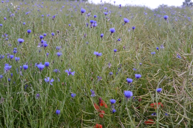 Kornblumen im Rapsfeld