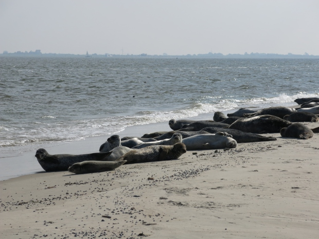 Seehunde am Ostende von Norderney
