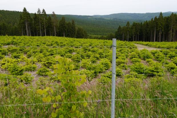 Weihnachtsbaumplantage im Arnsberger Wald unterhalb Gemeinheitskopf