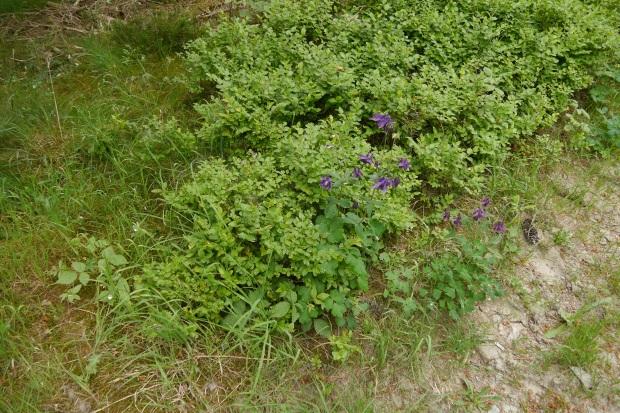 wilde Akeleien und Siebenstern im Arnsberger Wald